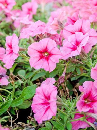 dipladenia: Pink dipladenia, mandevilla flowers, close up Archivio Fotografico