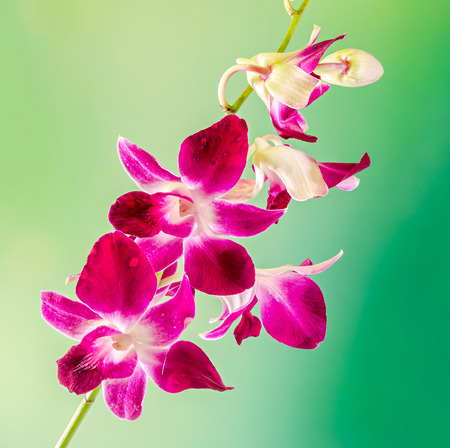 Pink branch orchid  flowers, Orchidaceae, Phalaenopsis known as the Moth Orchid, abbreviated Phal. Stock Photo