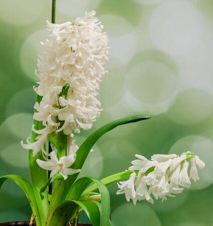 White Hyacinthus orientalis flower (common hyacinth, garden hyacinth or Dutch hyacinth) close up. Stock Photo