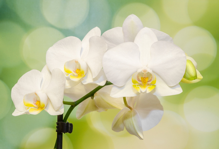 phal: White branch orchid  flowers with green leaves, Orchidaceae, Phalaenopsis known as the Moth Orchid, abbreviated Phal. Bokeh background Stock Photo