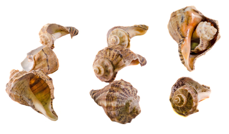 Sea colored shell, close up, isolated, white background.