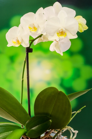 White branch orchid  flowers with green leaves, Orchidaceae, Phalaenopsis known as the Moth Orchid, abbreviated Phal. Bokeh background Stock Photo