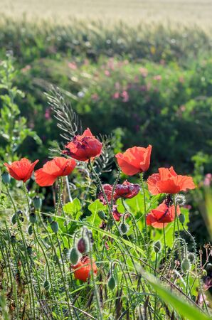 Papaver rhoeas red flower, common names include corn poppy, corn rose, field poppy, Flanders poppy, red poppy, red weed, coquelicot. Stock Photo