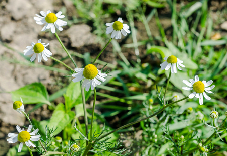 Matricaria chamomilla flowers, commonly known as chamomile (also spelled camomile), German chamomile, Hungarian chamomile (kamilla), wild chamomile or scented mayweed