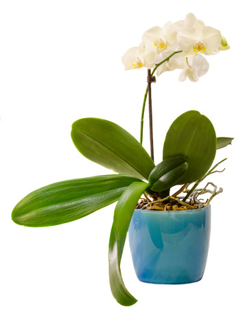 White branch orchid  flowers in blue flowerpot, Orchidaceae, Phalaenopsis known as the Moth Orchid, abbreviated Phal.