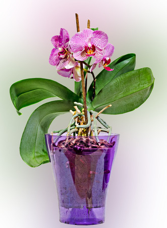 Pink branch orchid  flowers in transparent vase, Orchidaceae, Phalaenopsis known as the Moth Orchid, degrade background.