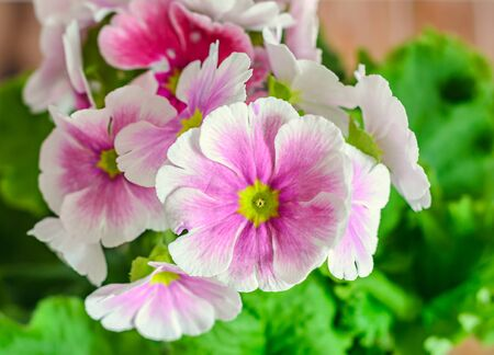 mauve: Primula obconica touch me, pink with white flowers, green leaves, close up, wood background Stock Photo