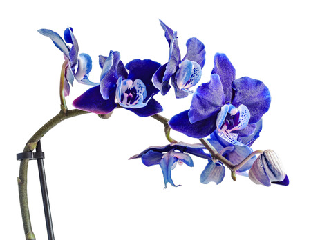 mauve: Dark violet, mauve, blue orchid close up branch flower, isolated on white background