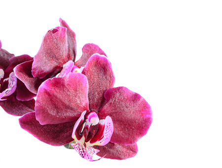 Purple orchid close up branch flower, isolated on white background. Stock Photo