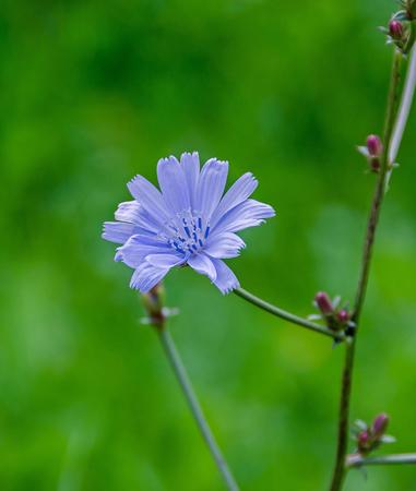 comuna: Cichorium intybus blue flower, close up, green bookeh background, in Romania known as Cicoarea comuna. Stock Photo