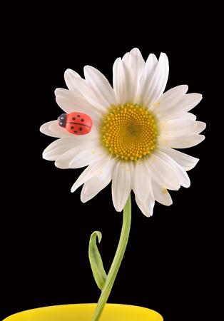 leucanthemum: Leucanthemum vulgare, the ox-eye daisy or oxeye daisy (syn. Chrysanthemum leucanthemum), with Ladybug, close up, isolated Stock Photo