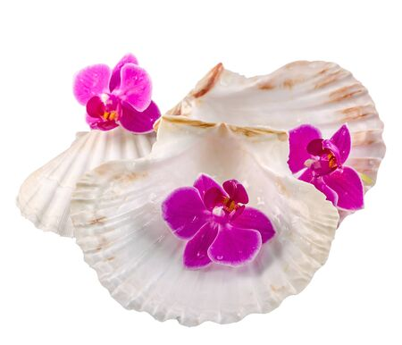 Pink orchid flowers and sea shells, isolated, cutout, Orhideea Phalaenopsis