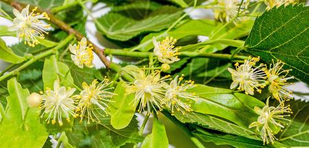 tilia: Yellow-orange Tilia tree flowers, green leaves, close up