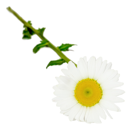leucanthemum: Leucanthemum vulgare, the ox-eye daisy or oxeye daisy (syn. Chrysanthemum leucanthemum), close up, isolated Stock Photo