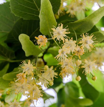 Yellow-orange Tilia tree flowers, green leaves, close up
