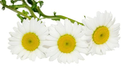 Leucanthemum vulgare, the ox-eye daisy or oxeye daisy (syn. Chrysanthemum leucanthemum), close up, isolated Stock Photo