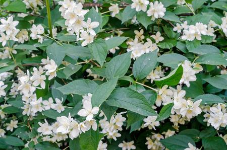 Jasminum grandiflorum, also known variously as the Spanish jasmine, Royal jasmine, Catalonian jasmine, close up