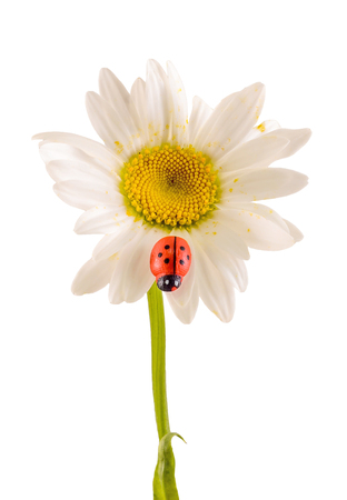 Leucanthemum vulgare, the ox-eye daisy or oxeye daisy (syn. Chrysanthemum leucanthemum), with Ladybug, close up, isolated Stock Photo