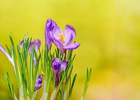 Violet mauve crocus flowers green plant, yellow bokeh background. Stock Photo