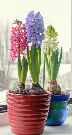 Pink, blue and white Hyacinthus orientalis, garden hyacinth flowers, bulbs in colored flowerpot, window light. Stock Photo
