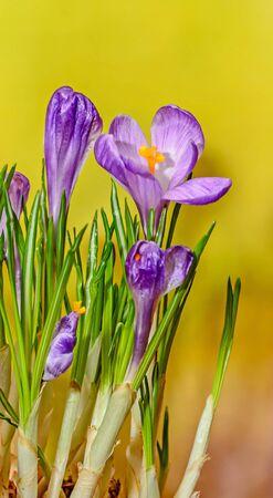mauve: Violet mauve crocus flowers green plant, yellow bokeh background. Stock Photo