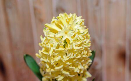Yellow Hyacinthus orientalis, garden hyacinth flowers bulb, wooden background.