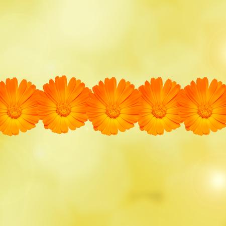 pot marigold: Orange flower of Calendula officinalis, frame close up Stock Photo