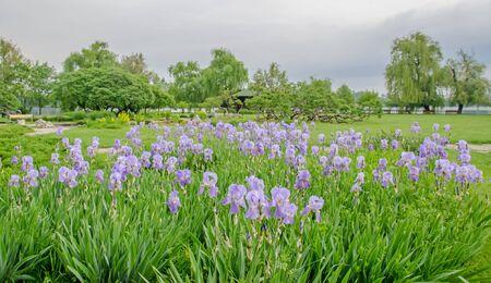 Violet, mauve Iris flower, green leaves, close up