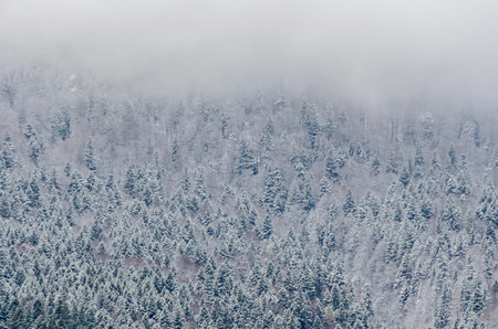 Romanian mountains range with pine forest and fog, winter time with snow.