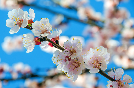 prunus cerasifera: Pink flower of Prunus cerasifera tree, close up