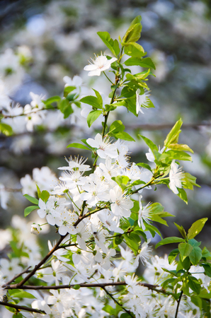prunus cerasifera: White flower of Prunus cerasifera tree, close up Stock Photo