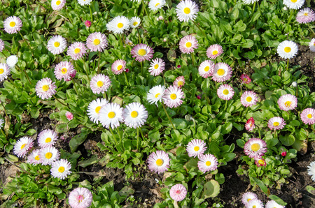 daisys: Pink-white daisys flowers, green plant close up