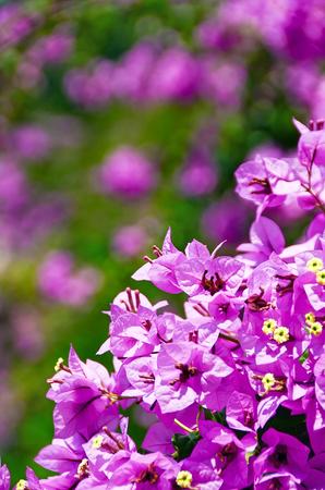 Mauve bush flowers close up, bokeh outdoor Stock Photo