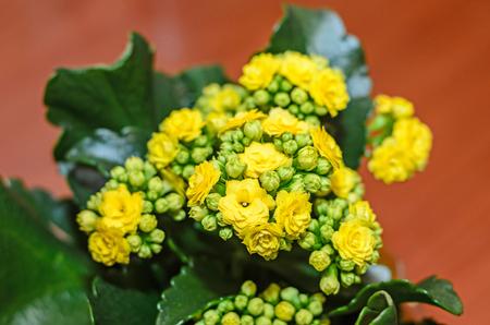Yellow Calandiva flowers Kalanchoe, family Crassulaceae, wood background.
