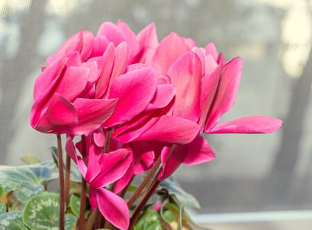 sowbread: Pink Cyclamen flowers, close up group, window background.