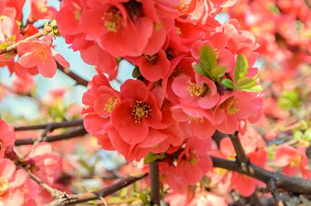 Chaenomeles japonica pink tree flowers,  Maules quince, Gutuiul japonez, outdoor close up.