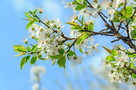 prunus cerasifera: White flowers of Prunus cerasifera tree, cherry or  myrobalan plum, close up outdoor.