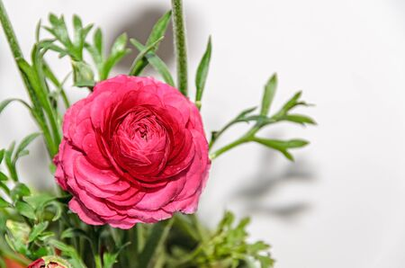 include: Dark red Ranunculus flower, Ranunculaceae family. Genus include the buttercups, spearworts, and water crowfoots. Close up, isolated. Stock Photo