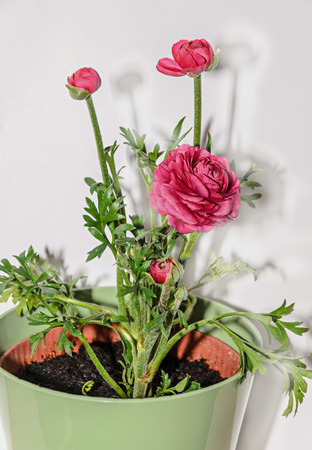 Dark red Ranunculus flower, Ranunculaceae family. Genus include the buttercups, spearworts, and water crowfoots. Flowerpot