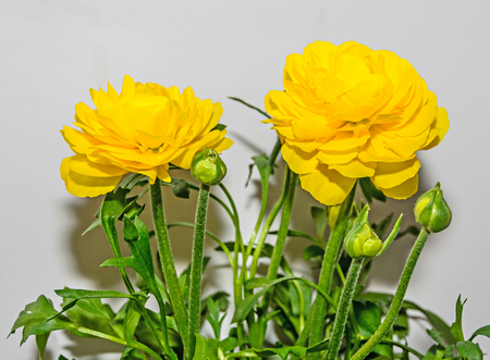 Yellow Ranunculus flower, Ranunculaceae family. Genus include the buttercups, spearworts, and water crowfoots. Close up, isolated.