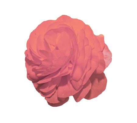 Pink Ranunculus flower, Ranunculaceae family. Genus include the buttercups, spearworts, and water crowfoots. Close up, isolated. Stock Photo