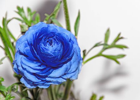 Blue Ranunculus flower, Ranunculaceae family. Genus include the buttercups, spearworts, and water crowfoots