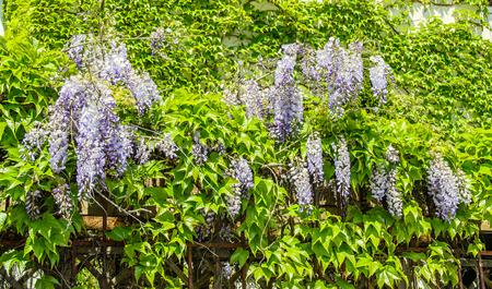 Mauve violet Wisteria bush climbing flowers, outdoor close up, Fabaceae family. Stock Photo