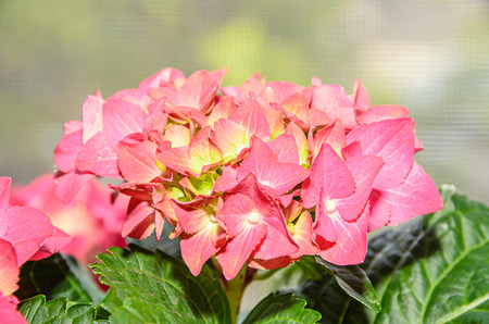 Pink with yellow hydrangea flowers hortensia petals close up pink with yellow hydrangea flowers hortensia petals close up bokeh stock photo mightylinksfo