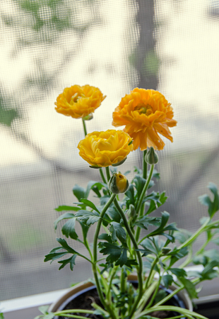 Yellow Ranunculus flowers at window, Ranunculaceae family. Genus include the buttercups, spearworts, and water crowfoots.