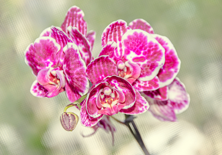 Pink orchid close up branch phal flowers, green vegetation  background.