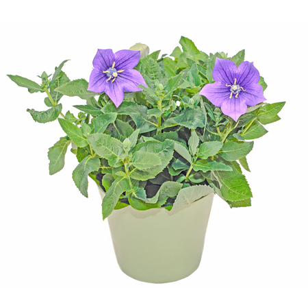 Platycodon grandiflorus astra blue, balloon flower with buds and green leafs, isolated.