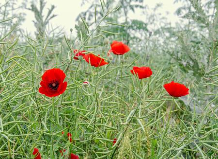 Red wild flowers of Papaver rhoeas (corn poppy, corn rose, field poppy), green wild field, country side.