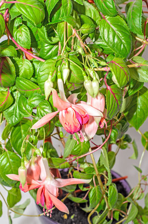 Pink Fuchsia flowers, green leaves shrub, close up isolated.