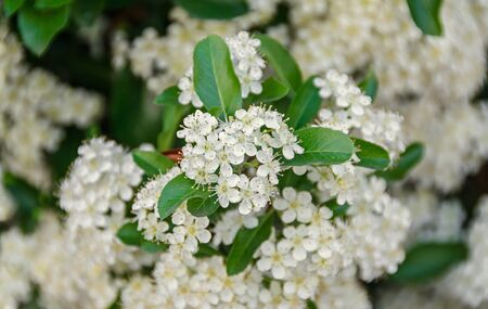 White Sea Buckthorn berry flowers, shrub with branches and green leafs, close up. Stock Photo